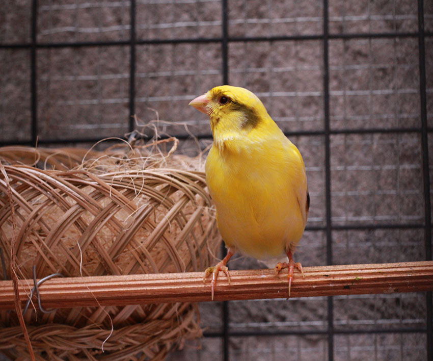 Perches for a canary's cage
