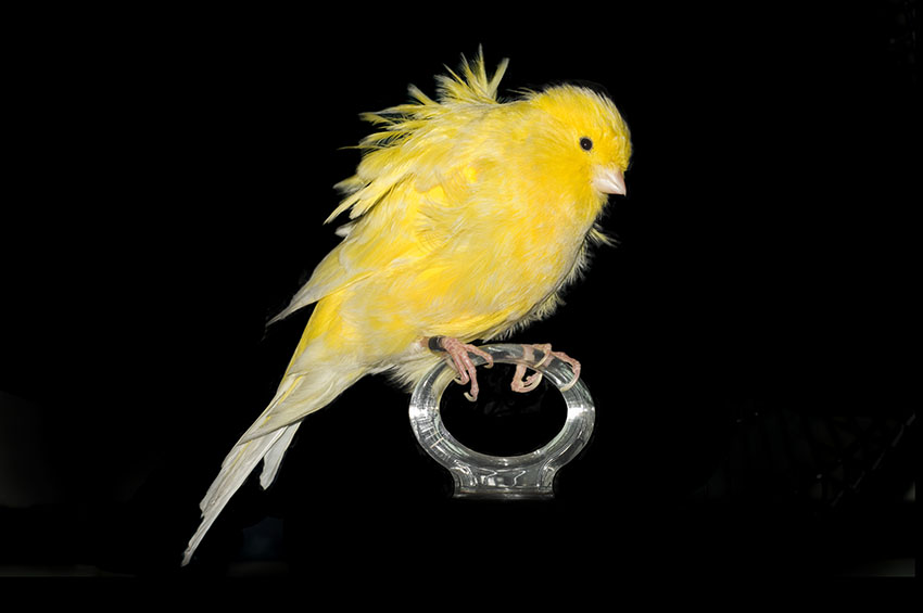 canary ruffled variety