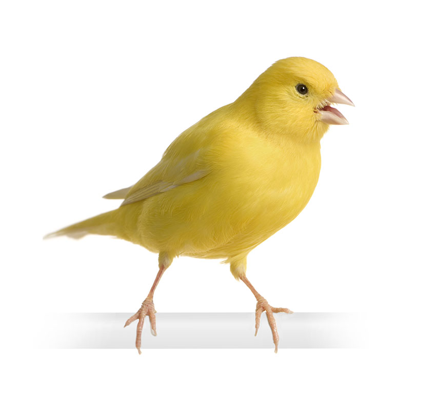 Canary-sounds
