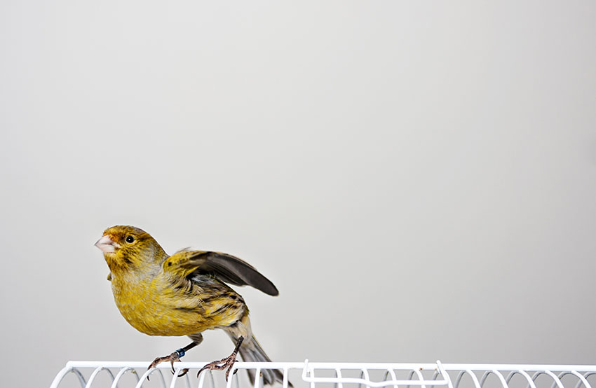 Canary stretching wings