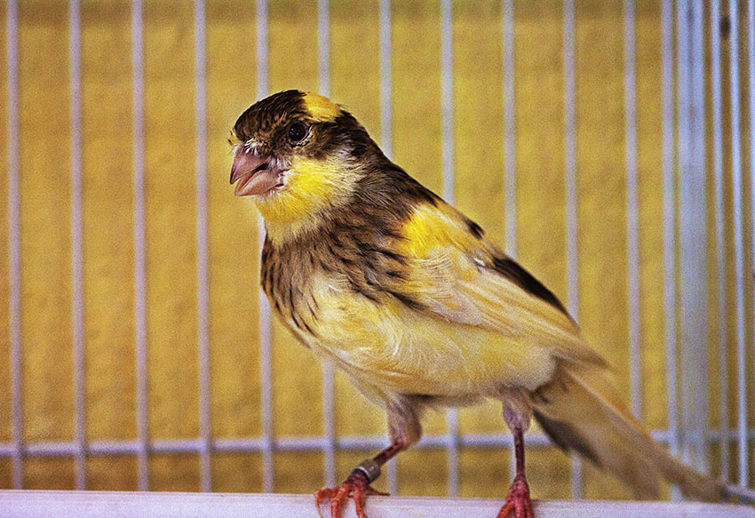 What are the Best Singing Canaries? | Canary | Finches and
