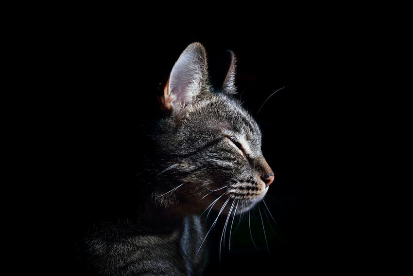 A purring cat