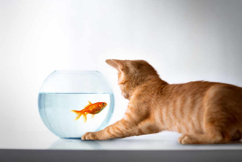 A cat watching a goldfish swimming in a bowl
