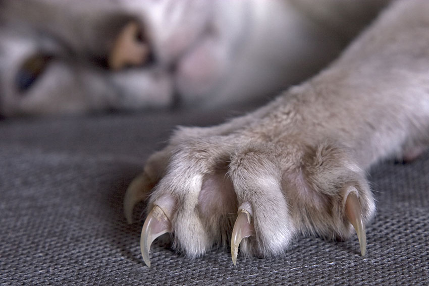 Cat claws can damage furniture