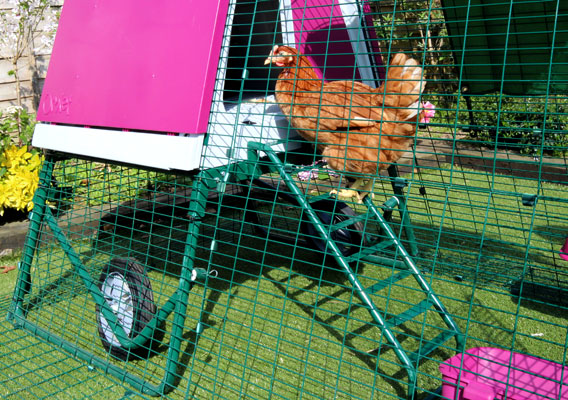 Chicken using the ladder to enter the Eglu Go UP portable chicken coop.