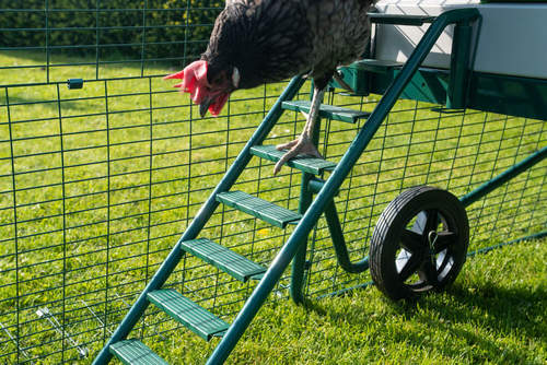 A chicken walking down the new and improved Eglu Go Up ladder with non-slip grips