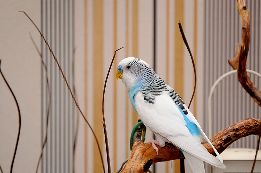 clearflight_type_budgie
