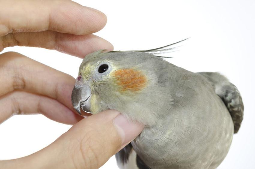 Cockatiel being tickled