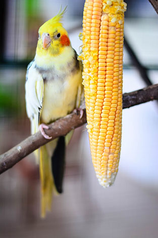 Cockatiel eating corn