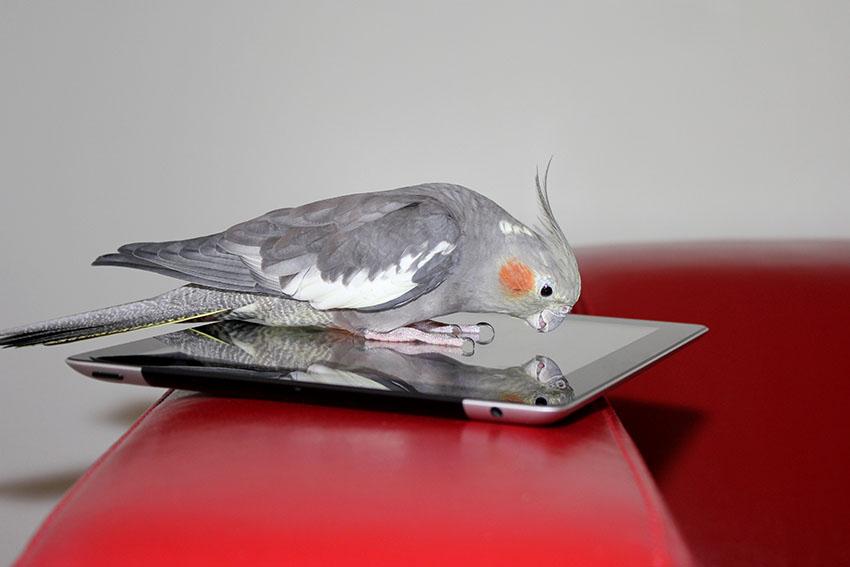 Cockatiel on mobile phone