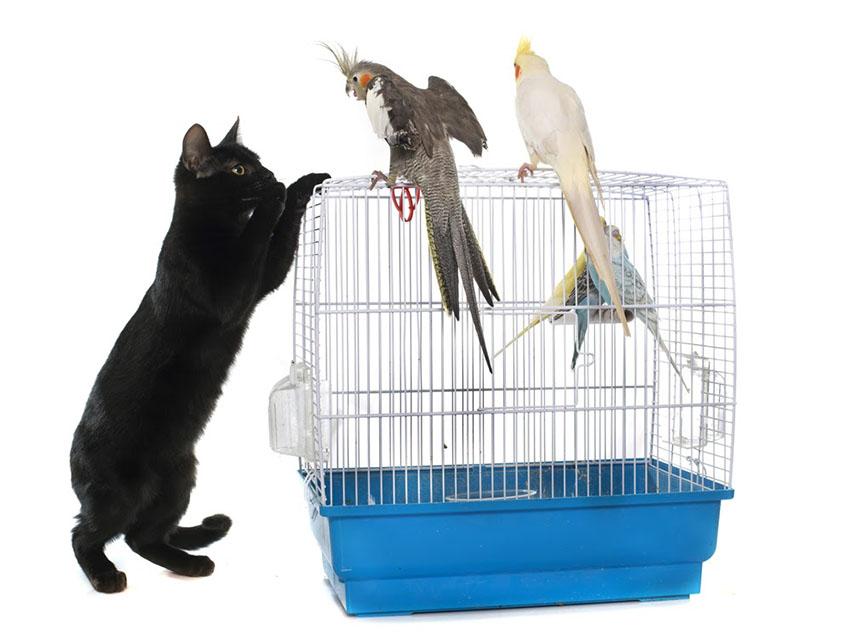 Cockatiels and cats