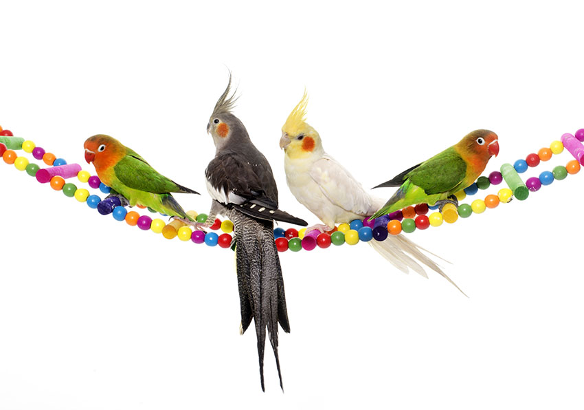 Cockatiels and Fischers Lovebirds