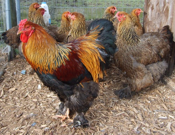 Brahma Cockerel with hens