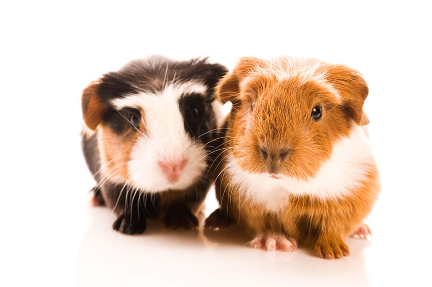 How Much Should I Feed Baby Guinea Pigs? | Feeding Guinea