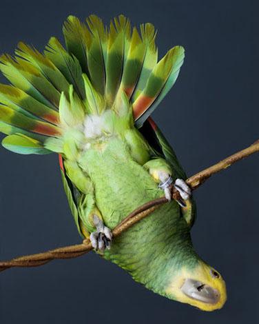 Double-yellow-headed Amazon