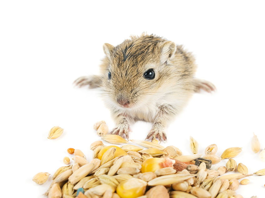 dry gerbil food