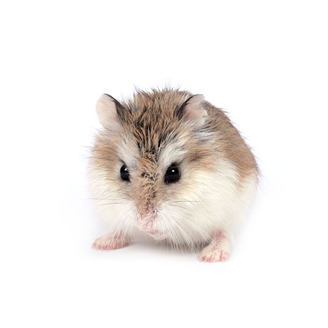 dwarf hamsters small