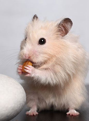 Hamster Not Eating And Drinking | Hamster Illnesses | Hamsters