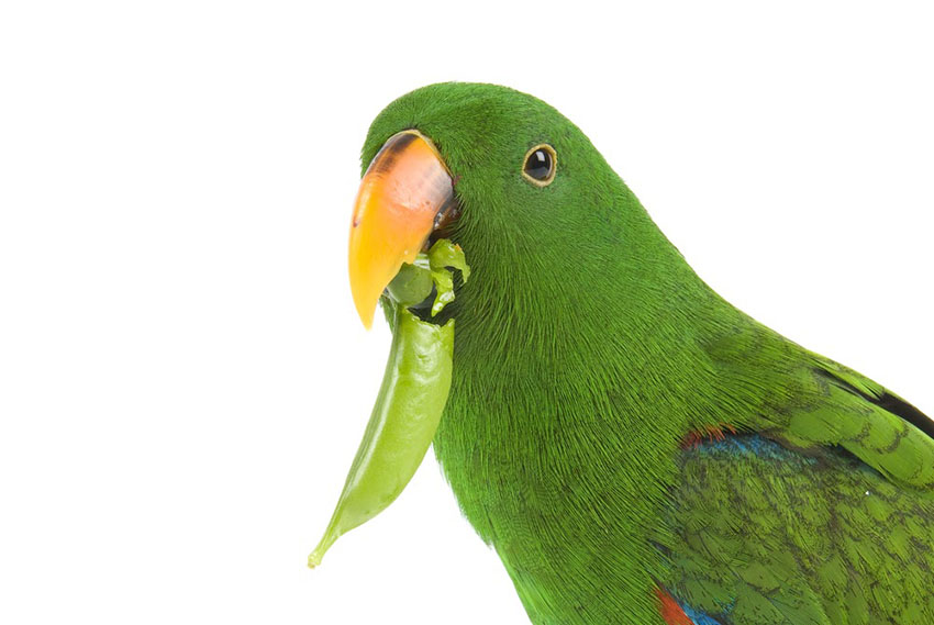 Eclectus parrot eating vegetables