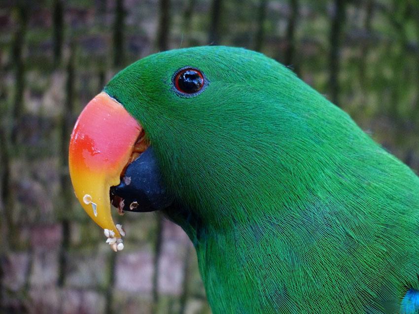 Eclectus parrot food