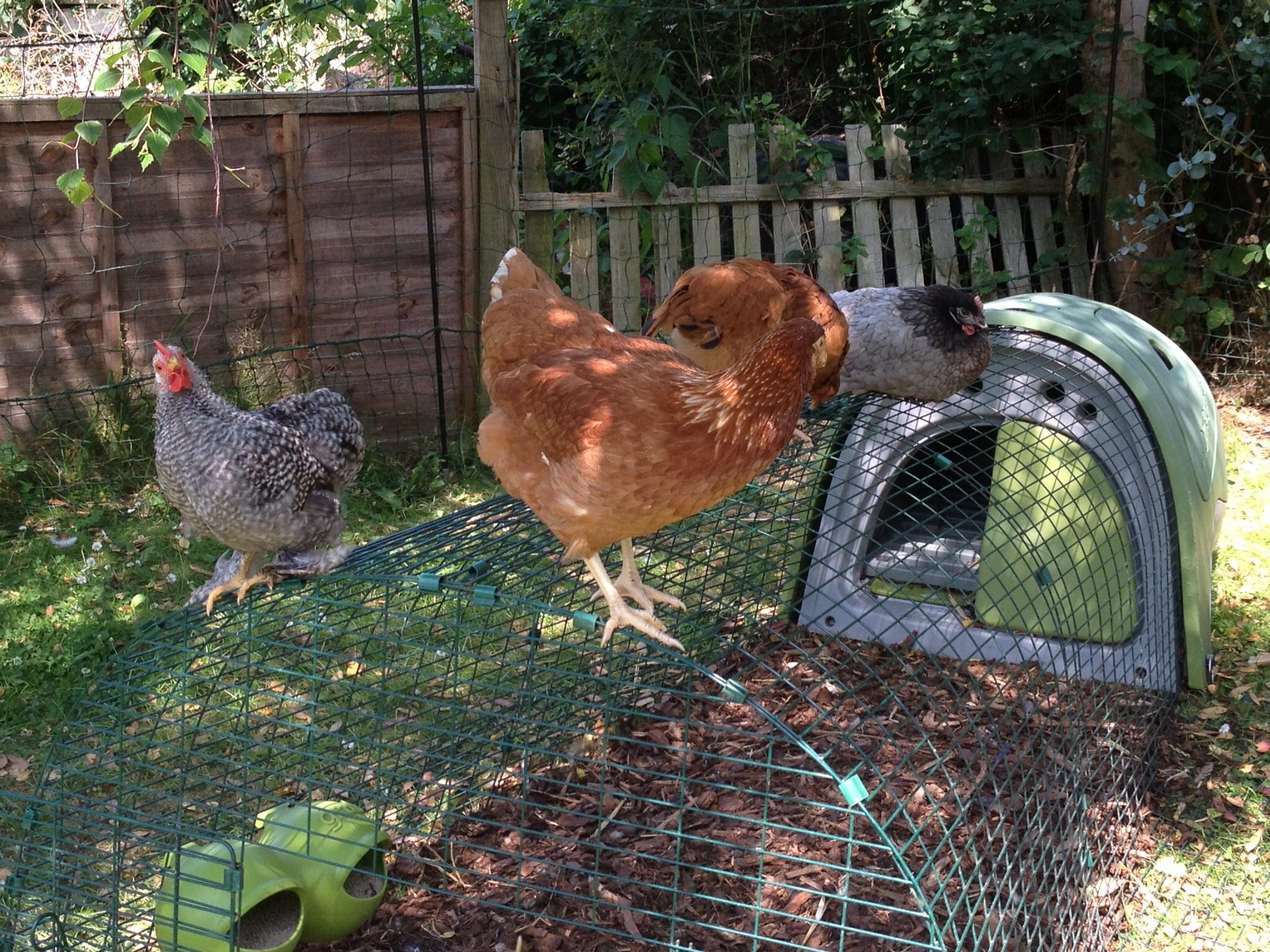 Les poules d'Emilia Taylor qui profitent d'un coin d'ombre dans le jardin
