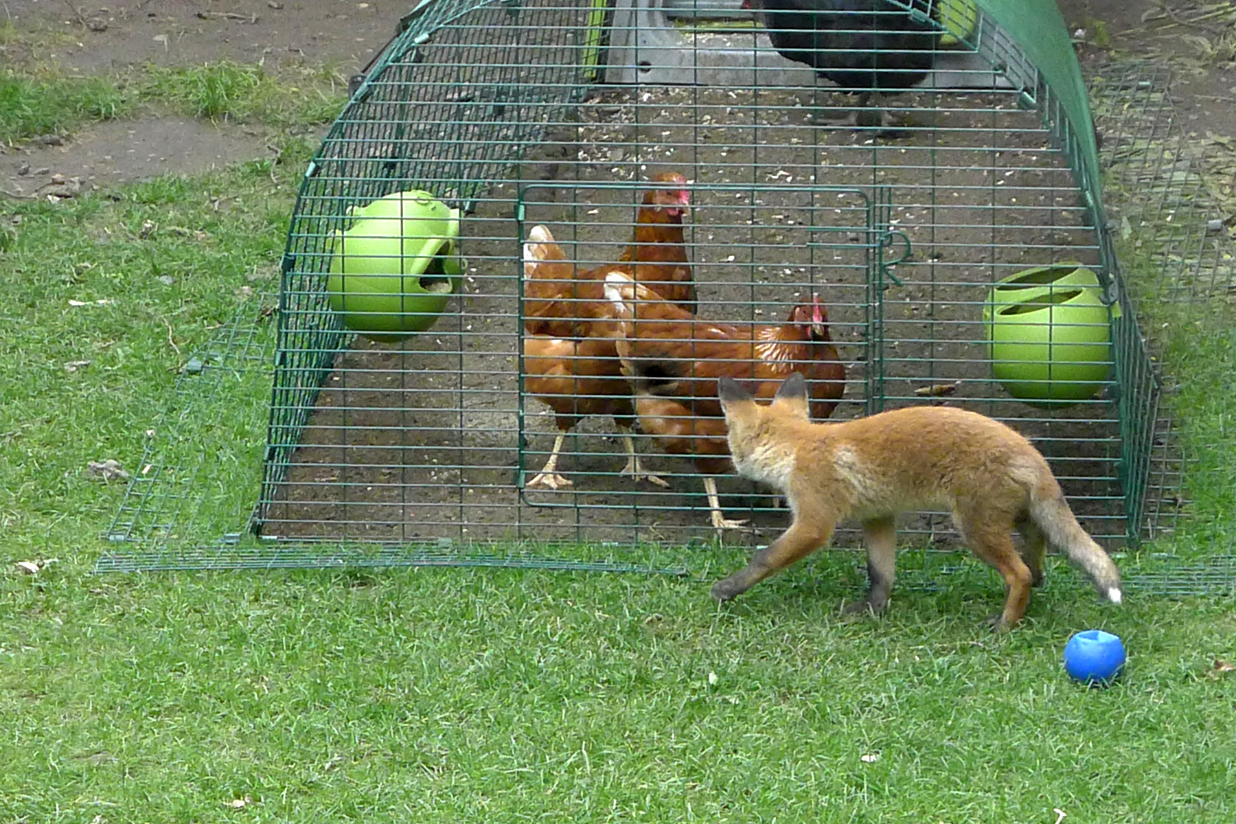 Know Your Enemy Fox Chickens Guide Omlet Uk