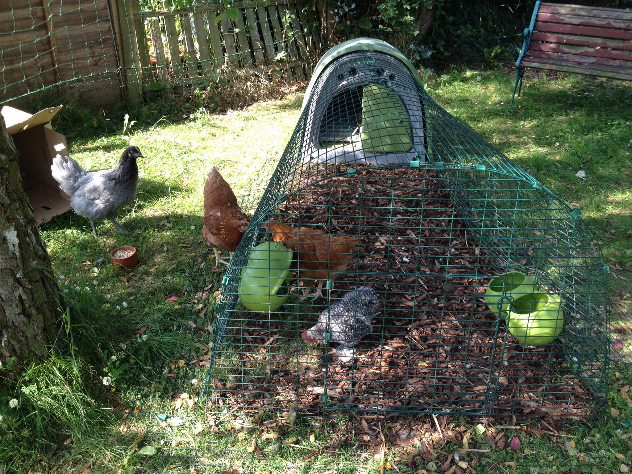 Les poules d'Emilia Taylor adorent chercher des vers de terre dans leur enclos pour Eglu