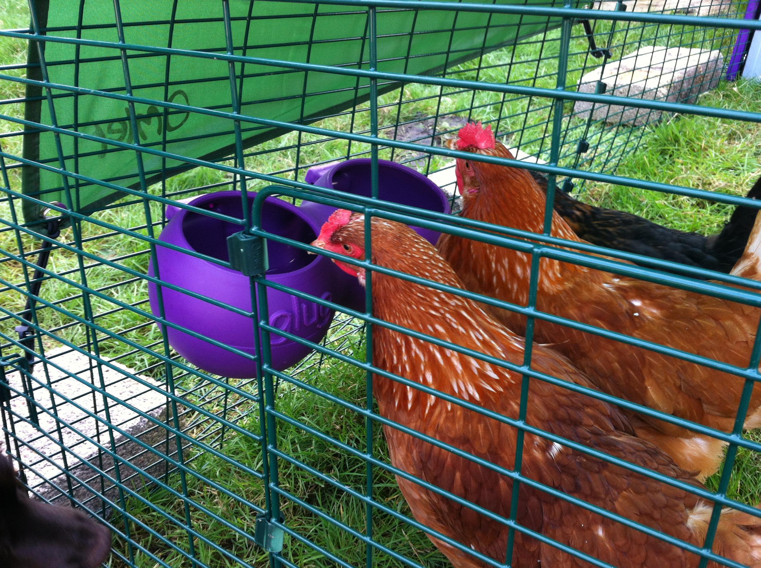 Katie Cheethams høns elsker at spise og drikke fra deres rene foder-/vandtrug fra Omlet