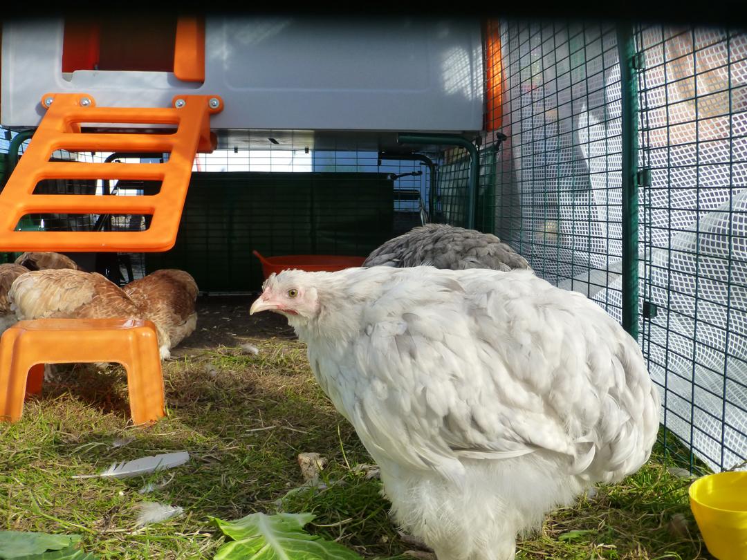 Les quatres poules bantam de Pékin et deux Cochins d'Helen Goodson adorent leur Nouveau Grand Poulailler Eglu Cube