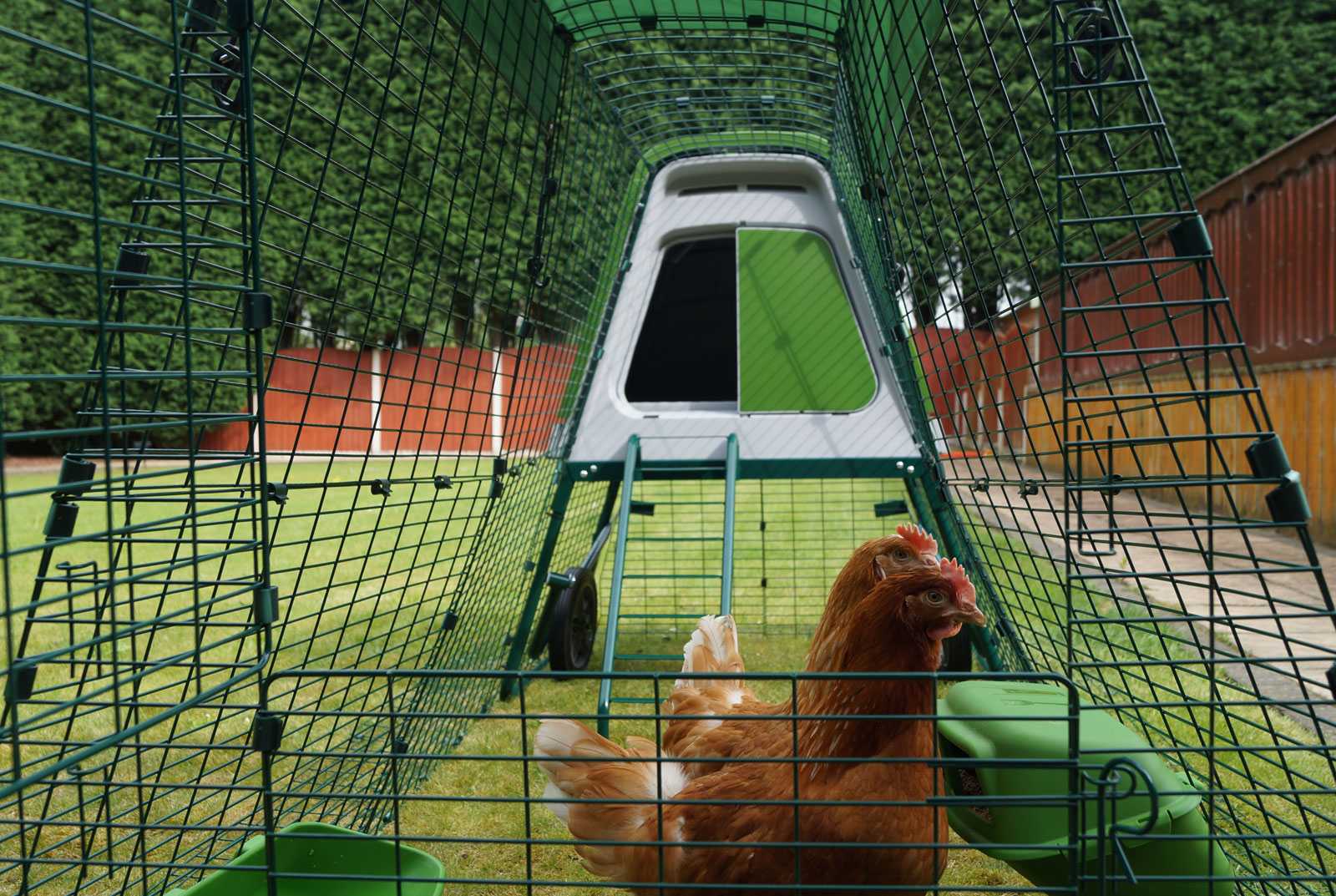 Stephanie Croft's Gingernut Rangers Daphne and Velma enjoying their new Eglu Go Up and Run
