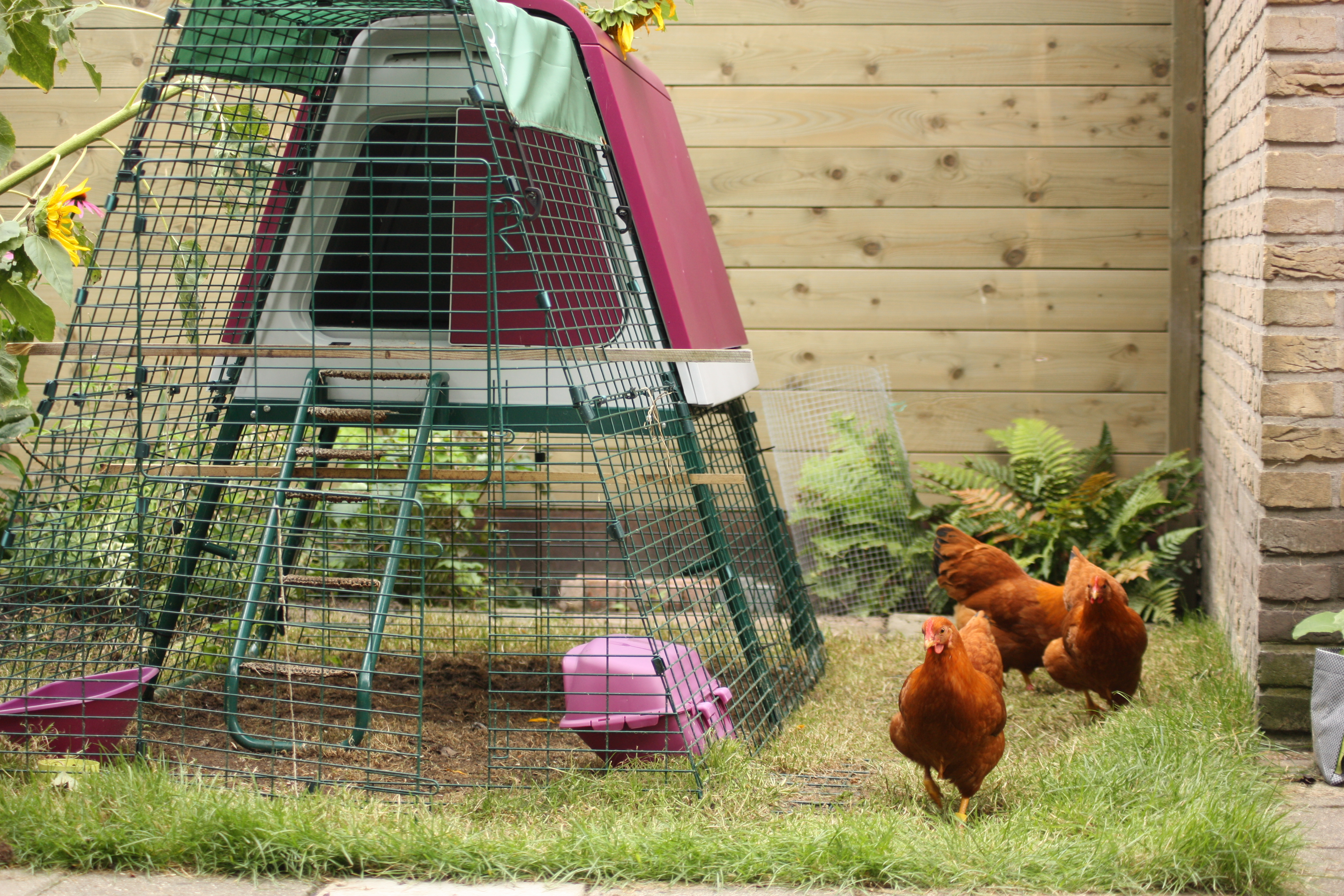 Pauline Snel's hens love to free ranging in her garden