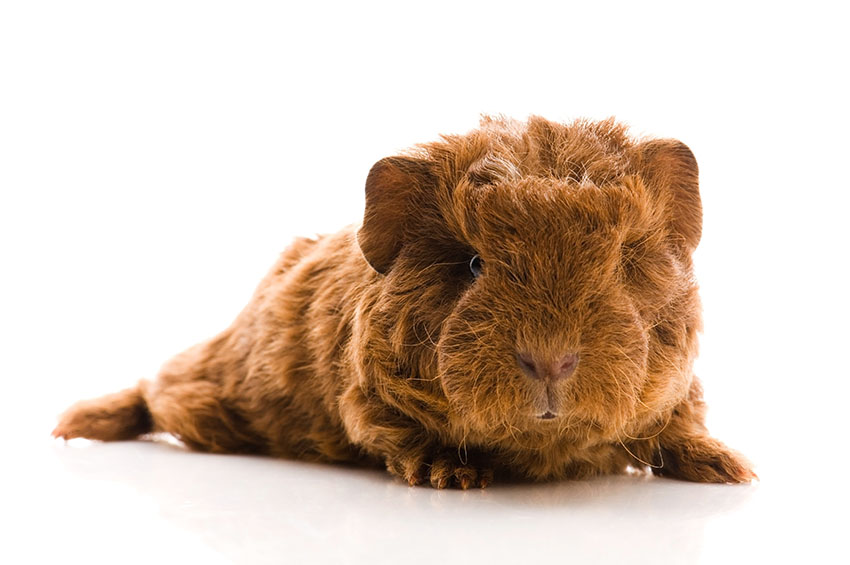 even young guinea pigs have lots of hair