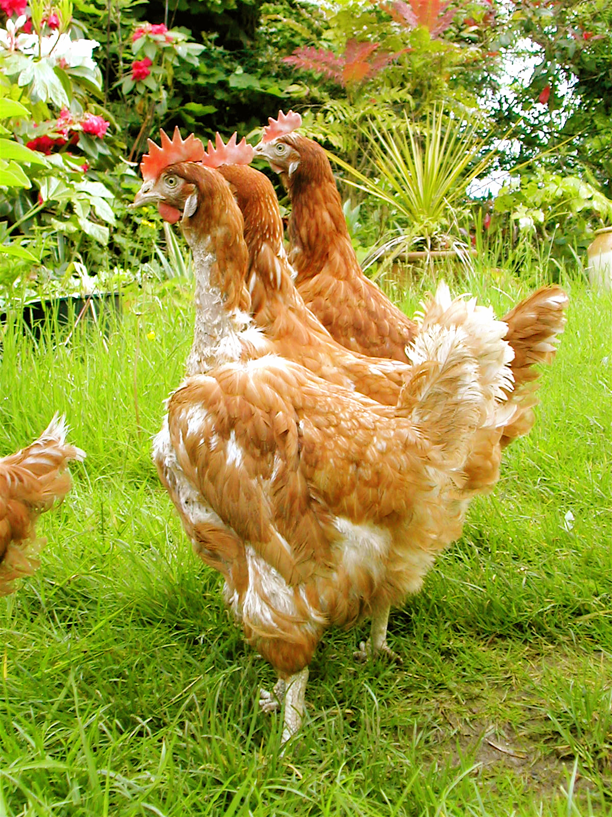 Three moulting chickens roaming around the garden in search for some tasty worms