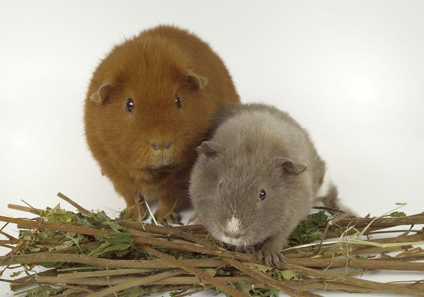 fast guinea pig friends