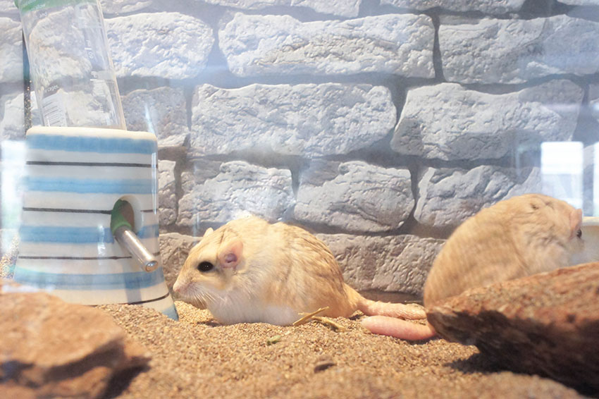 fat tailed gerbils