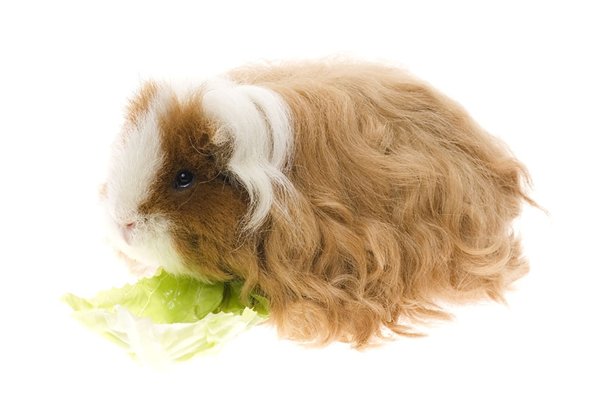 Feeding your guinea pig