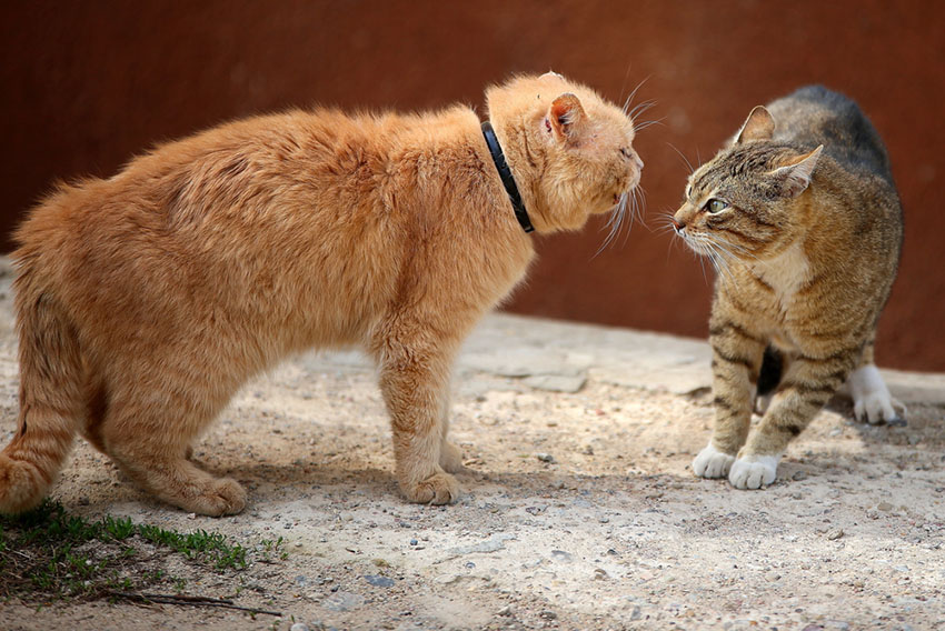 Aggressive cats fighting outside