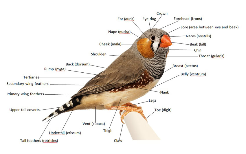 Finch anatomy