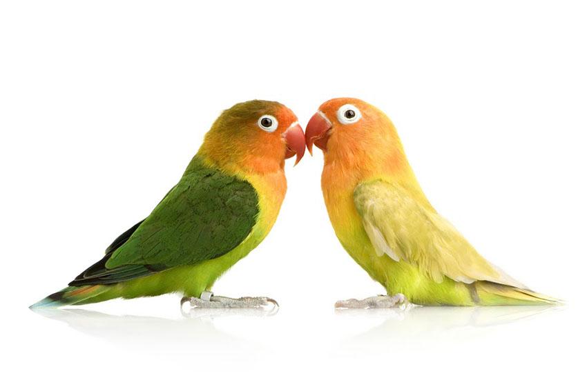 Fischers Lovebird breeding