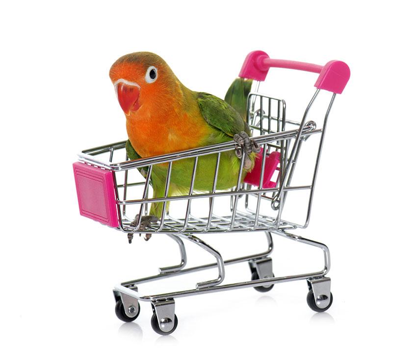 Fischers Lovebird with toy