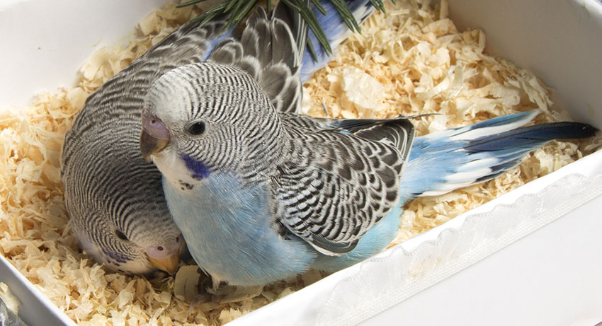 five_week_old_blue_budgies_in_box