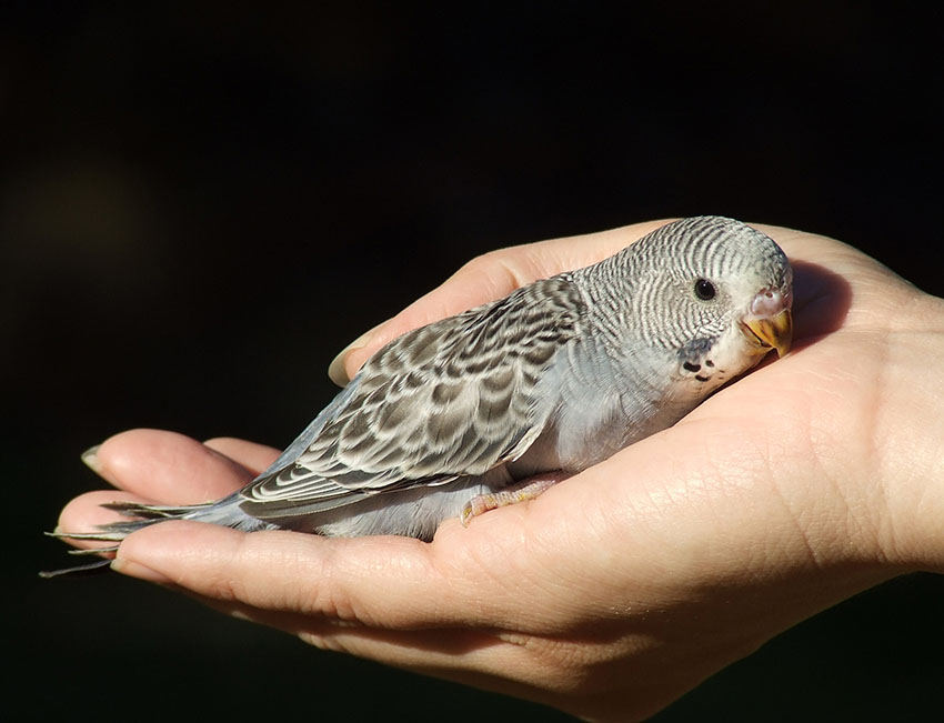 five week old budgie