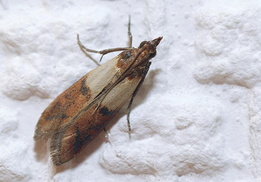 flour moth