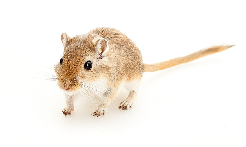gerbil lifespans how long