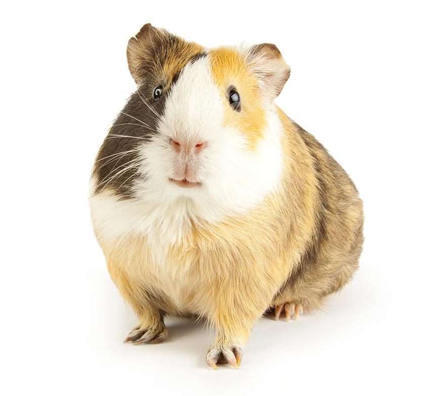 gerbil or guinea pig