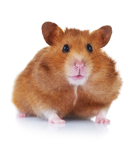 gerbil or hamster
