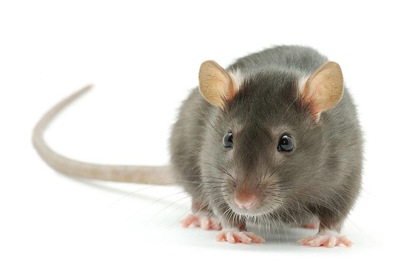 gerbil-or-rat