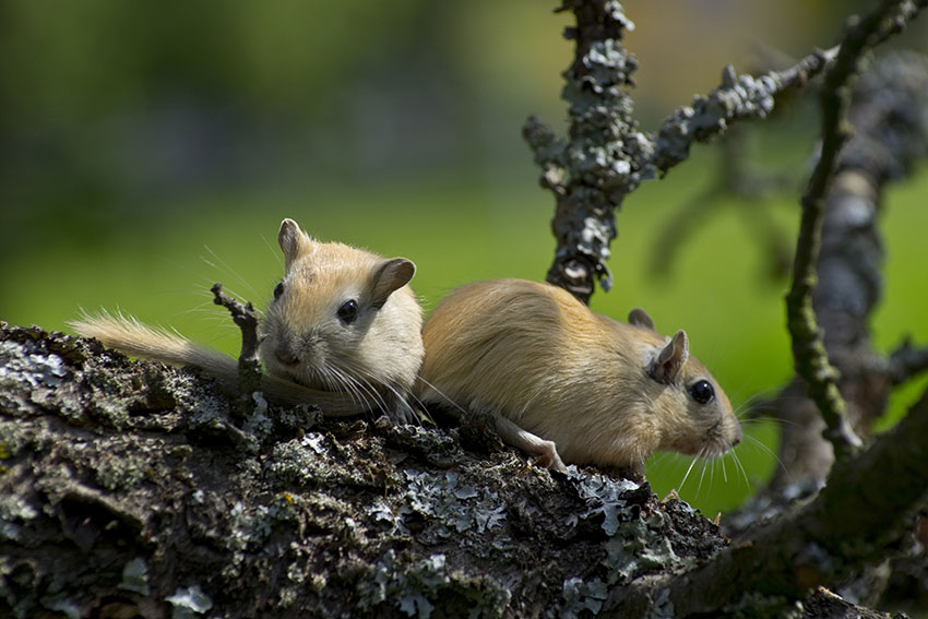 a cute pair of gerbils