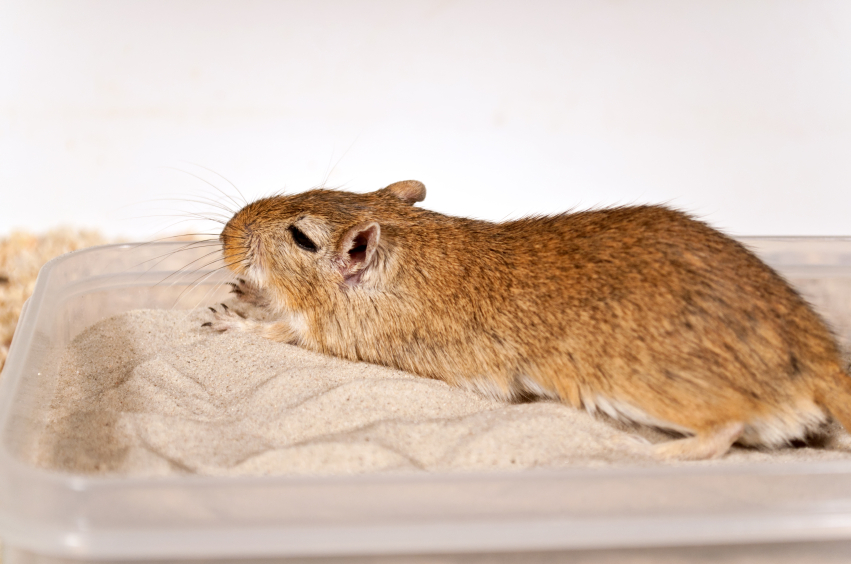 A gerbil enjoying a sand bath.