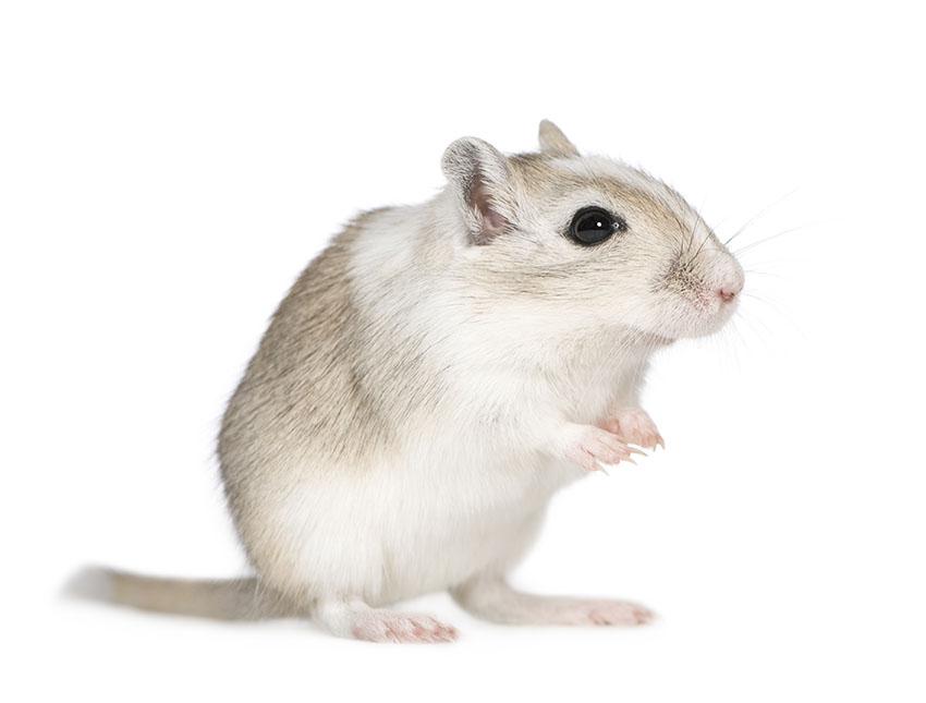 gerbils can be neutered